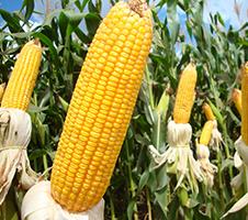 destacada-milho